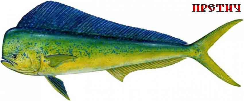 рыба семейства Coryphaenidae